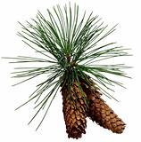 Two fir-cone
