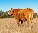Rump end of brown cow with blue sky
