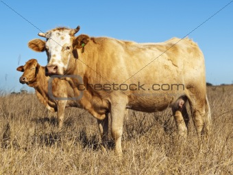 Australian beef cattle in dry winter pasture