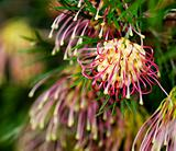 Grevillea Winpara Gem Australian native flower