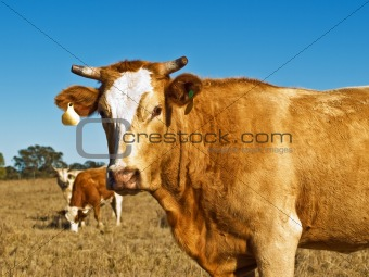 brown and white beef cattle Australian bred