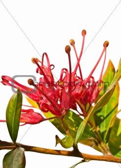 grevillea splendour Australian flower isolated