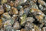Oysters pile