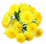 Bouquet of yellow flowers of dandelion