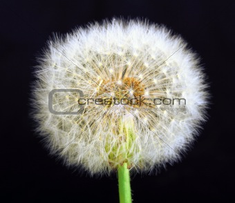 Single dandelion on black background