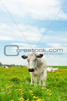 Cows in dandelion field