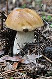 The white Summer Boletus