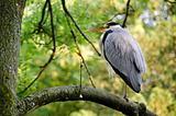 Ardea cinerea