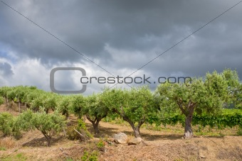olive trees under grey clouds