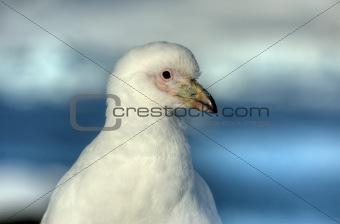 great white plover antarctica