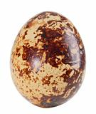 Only single light-brown egg of quail