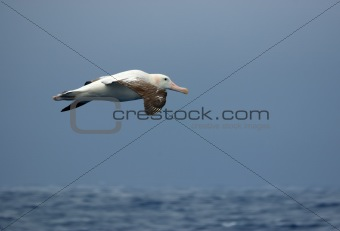Wandering albatross in flight
