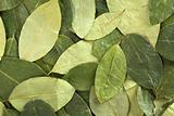 Coca Leaf Background