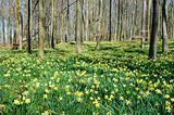 Forest with daffodils