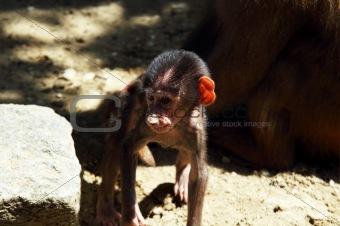 baboon's baby