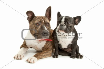 American Staffordshire Terrier and a French bulldog