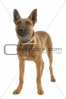 Belgian Shepherd Dog Malinois puppy