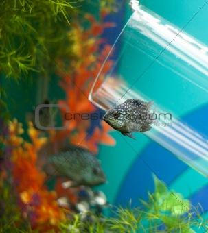 Small grey fish underwater near glass pipe