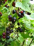 the tasty black currant