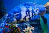 Big blue sea fish in aqurium. Underwater