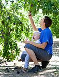 father and son picking plums
