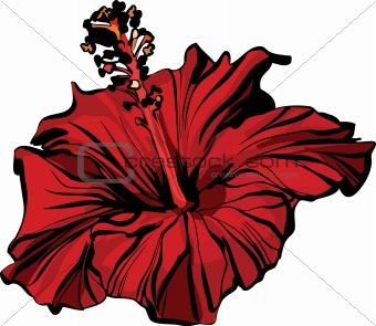 Chinese rose closeup hibiscus