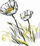 Two white poppy