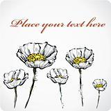 five white poppies