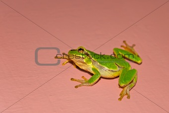 Tree frog on the vertical wall