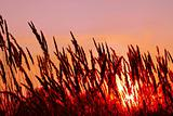 Cereals on sunset background
