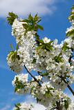 Blooming cherry tree on blue sky background