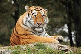 Resting Tiger.