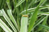 Gentle grasshopper in the sedge