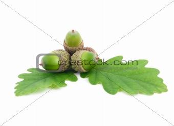 acorns on oak leaves