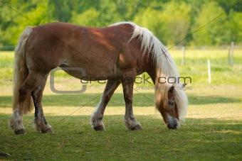 blond Horse