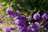 Honey bee close-up on a Lavender flower