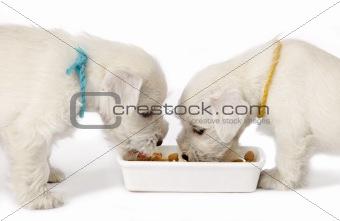 two white schnauzer puppies