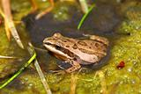 Western Chorus Frog (Pseudacris triseriata)