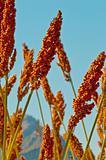 Sorghum plant detail