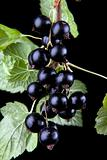 Macro of black currant