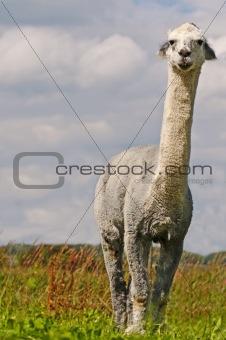 Alpaca, Vicuna pacos