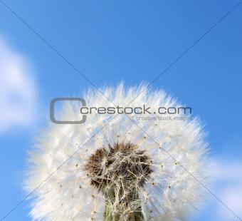Fluffy dandelion seeds background
