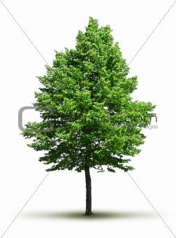 Lone green leafy tree