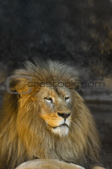 Male lion watching