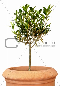 young olive tree in pot