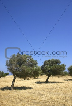 olive trees on hill