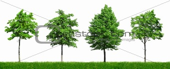 Four young green trees