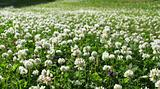 White clover field