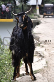 A Stray Goat Walking Down a Path