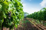 Spraying of vineyards